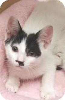 Domestic Shorthair Kitten for adoption in Miami, Florida - Manny