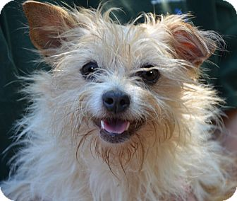 Cairn Terrier/Fox Terrier (Wirehaired) Mix Dog for adoption in Hagerstown, Maryland - Bonnie