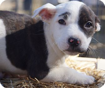 Bulldog Mix Puppy for adoption in Newark, Delaware - Grilled Cheese