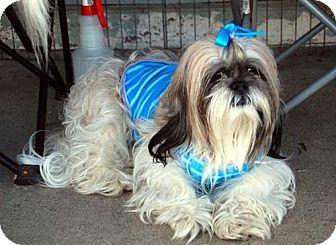 Lhasa Apso Dog for adoption in Los Angeles, California - FANTASIA