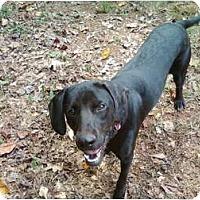 Adopt A Pet :: Tyson - Seneca, SC