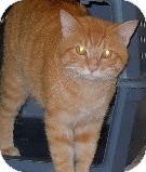 Domestic Shorthair Cat for adoption in Jacksonville, North Carolina - Hobbes