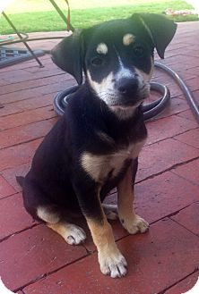 Labrador Retriever/Doberman Pinscher Mix Puppy for adoption in Long Beach, California - Dakota