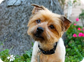 Yorkie, Yorkshire Terrier Mix Dog for adoption in Los Angeles, California - Eagle