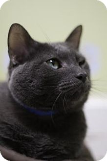 Domestic Shorthair Cat for adoption in Oak Park, Illinois - Tang