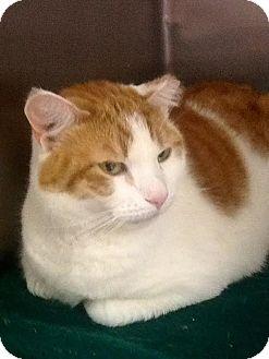 Domestic Shorthair Cat for adoption in Webster, Massachusetts - Sheba