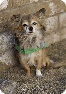 Chihuahua Dog for adoption in Washoe Valley, Nevada - Quincy