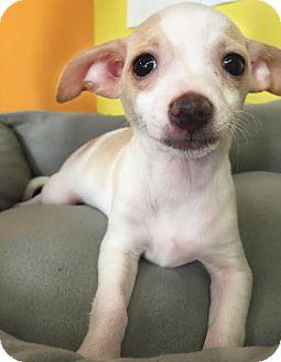 Chihuahua Mix Puppy for adoption in Boca Raton, Florida - Tessa