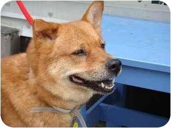 Shiba Inu/Chow Chow Mix Dog for adoption in New York, New York - Aphrodite