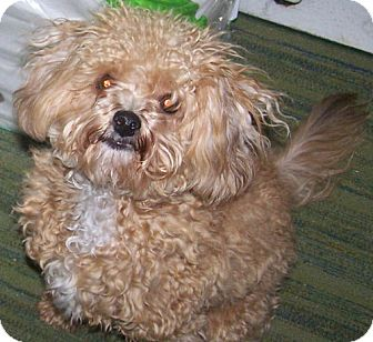 Poodle (Miniature)/Papillon Mix Puppy for adoption in Hastings, Minnesota - Gymmy ~ADOPTED~