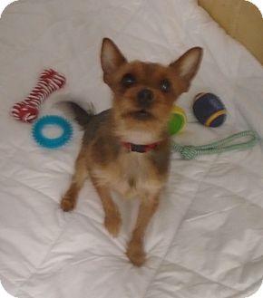 Yorkie, Yorkshire Terrier Mix Dog for adoption in Somerset, Pennsylvania - Petey