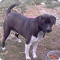 Labrador Retriever/Shepherd (Unknown Type) Mix Dog for adoption in Rootstown, Ohio - Oscar - Courtesy  Listing
