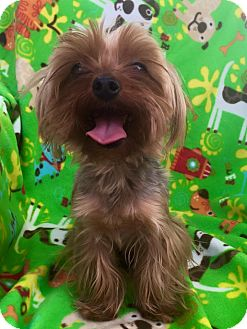 Yorkie, Yorkshire Terrier Mix Dog for adoption in Cleveland, Ohio - Clownfish