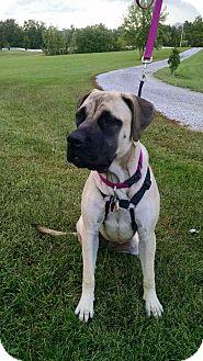 Mastiff Dog for adoption in LaGrange, Kentucky - AMY