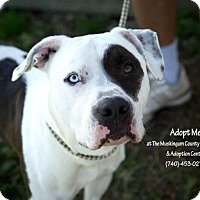 Adopt A Pet :: Patches - ADOPTED! - Zanesville, OH