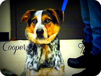 Australian Cattle Dog Mix Dog for adoption in Defiance, Ohio - Cooper