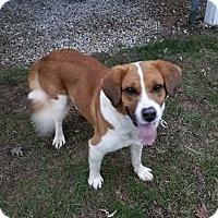 Adopt A Pet :: Buddy Holly - Plainfield, CT