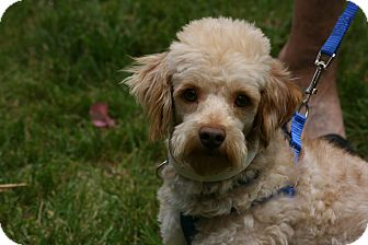 Miniature Poodle/Maltese Mix Dog for adoption in Carlsbad, California - Frenchie