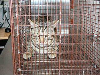 Domestic Mediumhair Cat for adoption in Aurora, Illinois - GRIFFEN