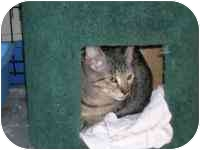 Domestic Shorthair Kitten for adoption in Grand Rapids, Michigan - Brownie