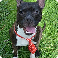 Boston Terrier/Chihuahua Mix Dog for adoption in Charlotte, North Carolina - Bowie
