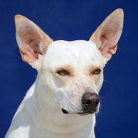 Australian Cattle Dog Mix Dog for adoption in Bastrop, Texas - Marlin