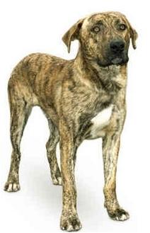 Retriever (Unknown Type)/Boxer Mix Dog for adoption in Marina del Rey, California - Rufus