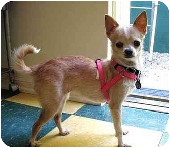 Chihuahua Dog for adoption in Los Angeles, California - ZOOEY