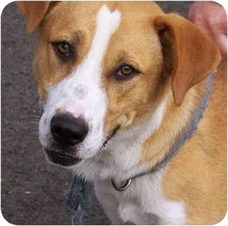 Labrador Retriever/Australian Shepherd Mix Dog for adoption in El Segundo, California - Elliot