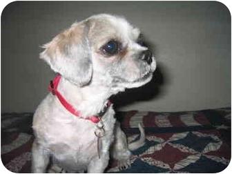 Shih Tzu Dog for adoption in Sedona, Arizona - Cookie