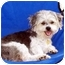 Photo 1 - Poodle (Miniature)/Terrier (Unknown Type, Small) Mix Dog for adoption in Los Angeles, California - VINNIE