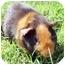 Photo 1 - Guinea Pig for adoption in Phoenix, Arizona - Carmel