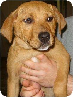 Beagle/Catahoula Leopard Dog Mix Puppy for adoption in Mt. Vernon, Illinois - Twiggy