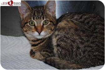 Domestic Shorthair Kitten for adoption in Yuba City, California - *Eric (URGENT!)