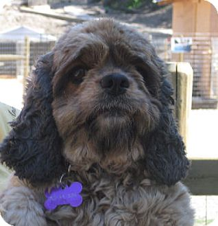 Cocker Spaniel Mix Dog for adoption in Merritt, British Columbia - Cinder