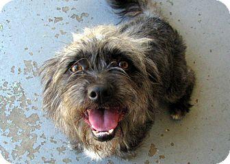 Schnauzer (Standard)/Terrier (Unknown Type, Small) Mix Dog for adoption in Winnetka, California - SCOTTY