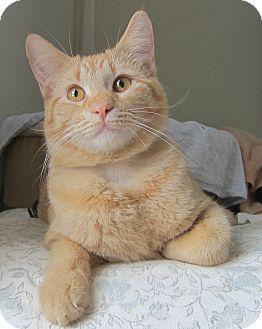 Domestic Shorthair Cat for adoption in Roseville, Minnesota - Jubes