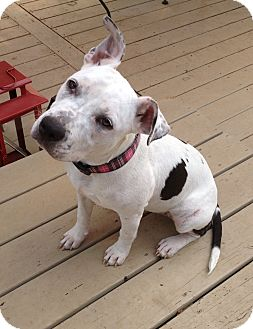 American Bulldog Mix Dog for adoption in Knoxville, Tennessee - DaisyJane