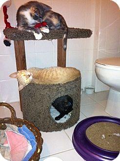 Domestic Shorthair Cat for adoption in Cranford/Rartian, New Jersey - Gabriella