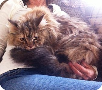 Maine Coon Cat for adoption in Edinburg, Pennsylvania - Shira: courtesy post