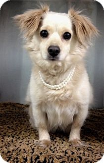 Spaniel (Unknown Type) Mix Dog for adoption in Dublin, California - Kylie