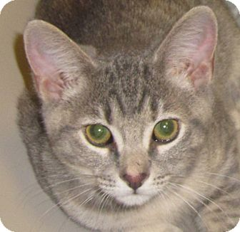 Egyptian Mau Kitten for adoption in Walden, New York - Rapunzel