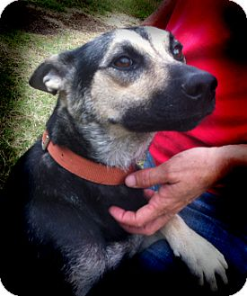 German Shepherd Dog Mix Dog for adoption in Cantrall, Illinois - Savanna