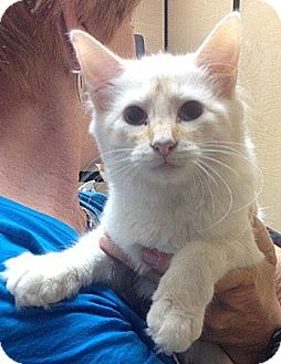 Siamese Cat for adoption in Weatherford, Texas - Snowball
