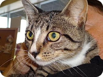 Domestic Shorthair Cat for adoption in Satellite Beach, Florida - Molly