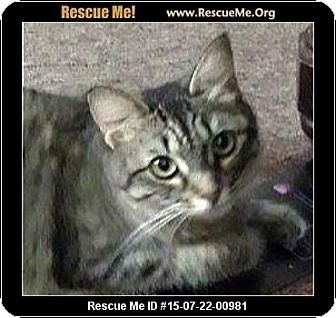 Domestic Mediumhair Cat for adoption in Schertz, Texas - Shayna LC