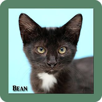 Domestic Longhair Cat for adoption in Aiken, South Carolina - Bean