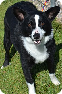 Border Collie Mix Dog for adoption in Fruit Heights, Utah - Sancho