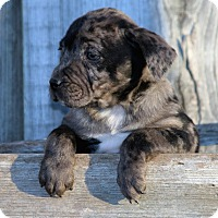 Adopt A Pet :: *Grayson - PENDING - Westport, CT