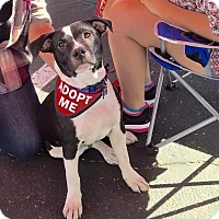 Adopt A Pet :: JUNIOR - Gilbert, AZ